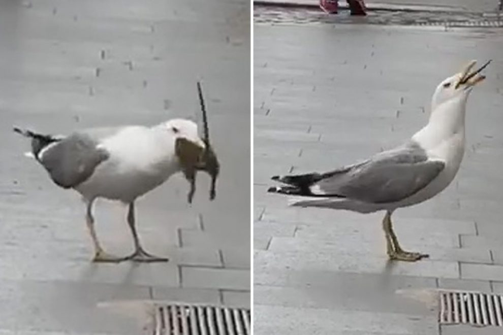 Moment seagull swallows huge rat in viral video as stunned onlookers watch in Rome