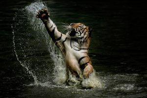 Tiger splashes around in water and stretches paws in the air as fearsome predator shows its playful side