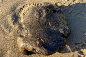 Bizarre 'alien' object washes up on Aussie beach could be worth £800k if it turns out to be whale vomit