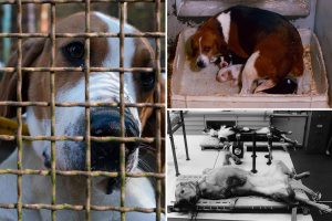Dog breeders selling 'excess stock' puppies to animal testing labs to die in agony during experiments in France